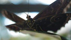 Papillon se reposant sur une feuille verte Vue Macro de batterfly banque de vidéos