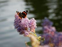 Papillon se reposant sur une fleur pourpre à l'après-midi Images stock