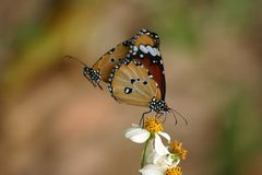 Papillon simple de tigre Images libres de droits