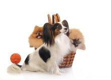 Papillon and spitz Stock Photos