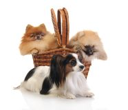 Papillon and spitz Royalty Free Stock Photos
