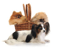 Papillon and spitz Royalty Free Stock Images