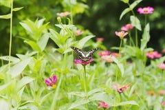Papillon suçant le nectar photo libre de droits