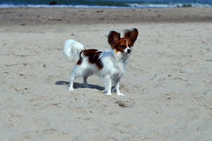 Papillon sunning at the beach Royalty Free Stock Photo