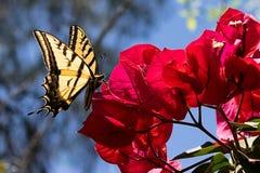 Papillon sur Bouganvillea Images libres de droits