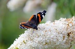 Papillon sur papillon-Bush Images libres de droits