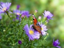 Papillon sur des fleurs d'aster Photo stock
