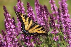Papillon sur des fleurs d'une sauge de violette Image stock