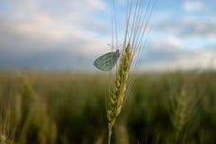 Papillon sur des oreilles de blé Photographie stock