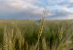 Papillon sur des oreilles de blé Photos stock