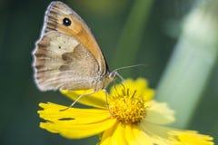 Papillon sur fleurs images stock