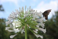 Papillon sur l'Agapanthus de maman de la Reine Photos stock