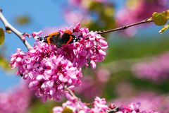 Papillon sur l'arbre de redbud Photo stock