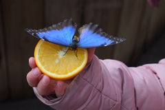 Papillon sur l'orange Photo stock