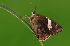 Papillon sur la brindille, bifasciata de Lobocla Images stock