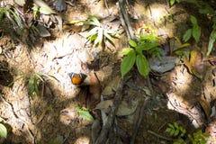 Papillon sur la côte, Mangabe fouineur, Madagascar image stock