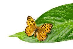 Papillon sur la feuille avec des baisses Photographie stock libre de droits