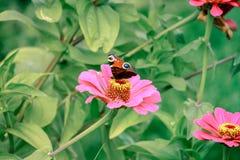 Papillon sur la fin de fleur vers le haut de 1 Image libre de droits