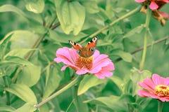 Papillon sur la fin de fleur vers le haut de 1 Photos stock