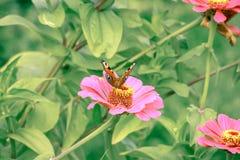 Papillon sur la fin de fleur vers le haut de 1 Images stock