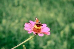 Papillon sur la fin de fleur vers le haut de 1 Photo stock