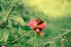 Papillon sur la fin de fleur vers le haut de 1 Image stock