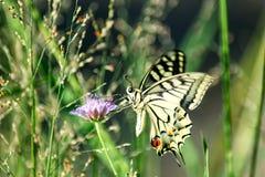 Papillon sur la fleur images libres de droits