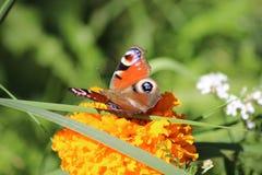 Papillon sur la fleur Image libre de droits