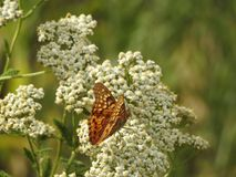 Papillon sur la fleur blanche images libres de droits