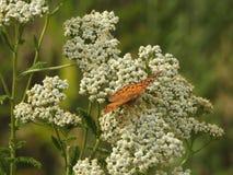 Papillon sur la fleur blanche photo libre de droits