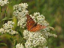 Papillon sur la fleur blanche image libre de droits