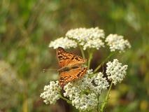 Papillon sur la fleur blanche photos libres de droits