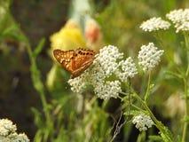 Papillon sur la fleur blanche photographie stock