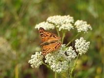 Papillon sur la fleur blanche photos stock