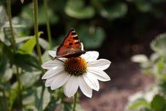 Papillon sur la fleur blanche image stock