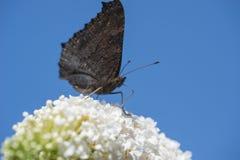 Papillon sur la fleur blanche Photographie stock libre de droits