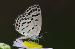 Papillon sur la fleur, filicaudis de Tongeia Photos stock