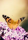 Papillon sur la fleur lilas Photographie stock libre de droits
