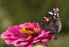 Papillon sur la fleur pourpre Photos stock