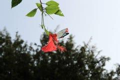 Papillon sur la fleur rouge de ketmie photographie stock libre de droits