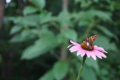 Papillon sur la fleur sauvage rose dans Illinios Photographie stock libre de droits