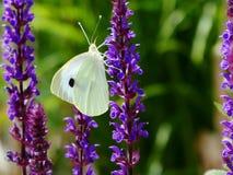 Papillon sur la lavande Photographie stock