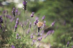 Papillon sur la lavande Image stock