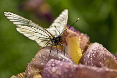 Papillon sur la pensée. Images libres de droits