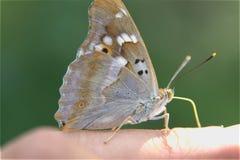 Papillon sur la photographie de macro de doigt Photos libres de droits
