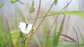 Papillon sur la pousse d'herbe banque de vidéos