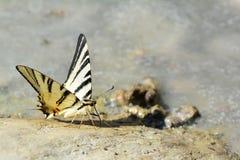 Papillon sur la roche Photos stock
