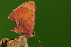 Papillon sur la roche, Ahlbergia Nicévillei Photos libres de droits