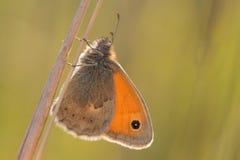 Papillon sur la tige d'herbe Image stock