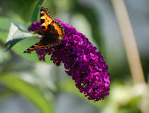 Papillon sur le buddleia photographie stock